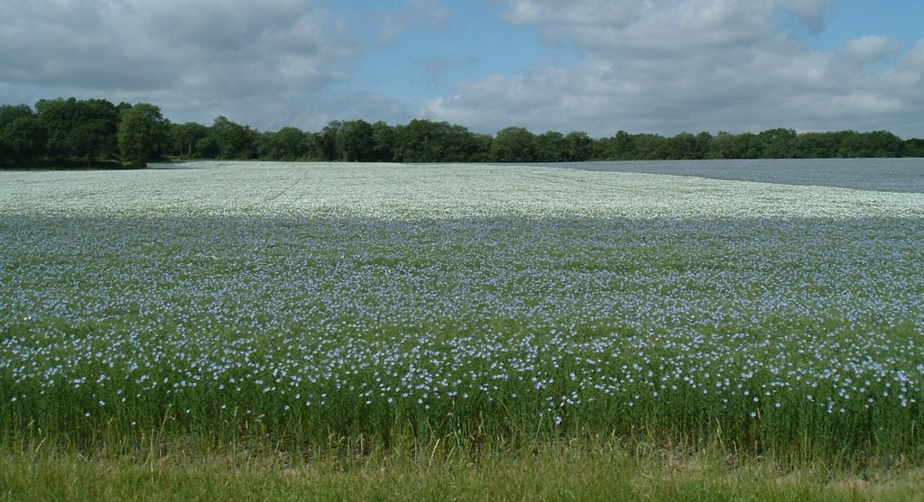 Field of linseed (flax ) with blue and white flowers
