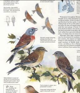 Linnet, the bird that hovers above linseed. Page from the Complete Book of British Birds