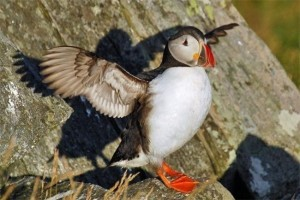 Puffins and conserved by use of sustainable product such as linseed oil over krill oil