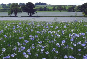 Linum usitatissimum, Linseed growing in the Cotsolds