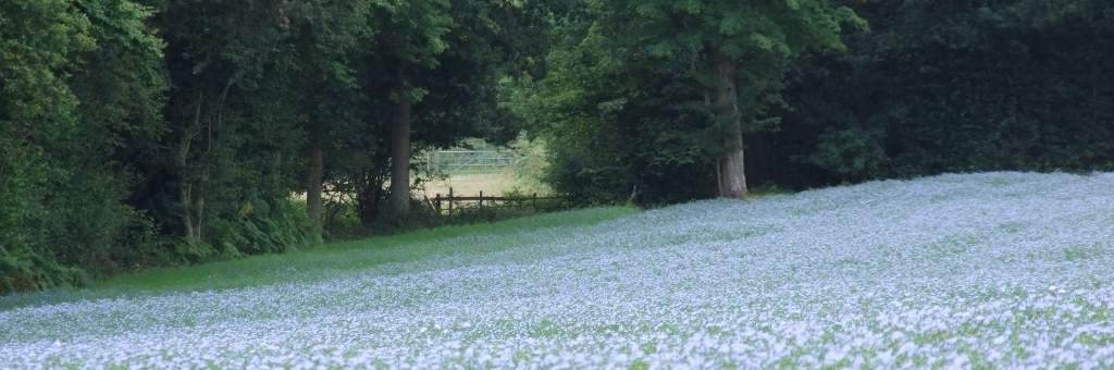 View of flax linseed growing in the UK