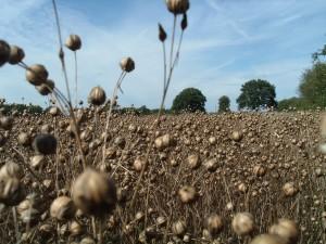Ripe linseed seedheads