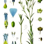 Linum usitatissimum, the plant that gives us both linseed and flax